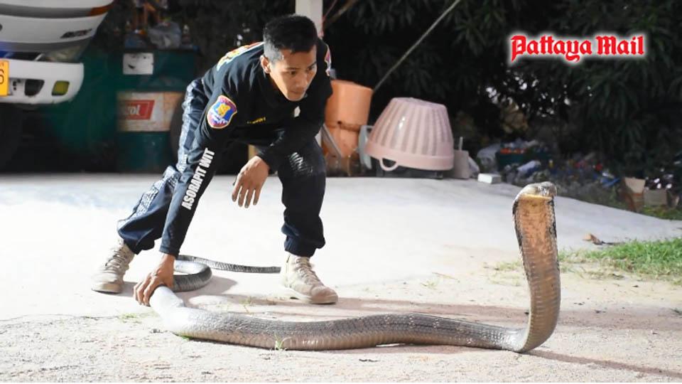 Chật vật bắt hổ mang chúa dài hơn 4 mét - hình ảnh 3