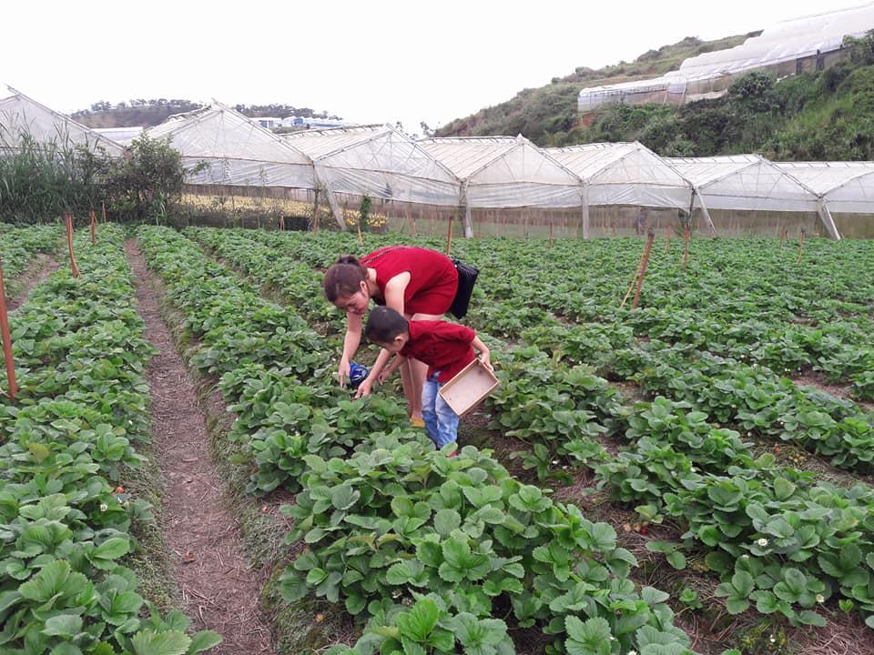 Lên Đà Lạt một ngày làm nông dân thu hoạch dâu tây - 11