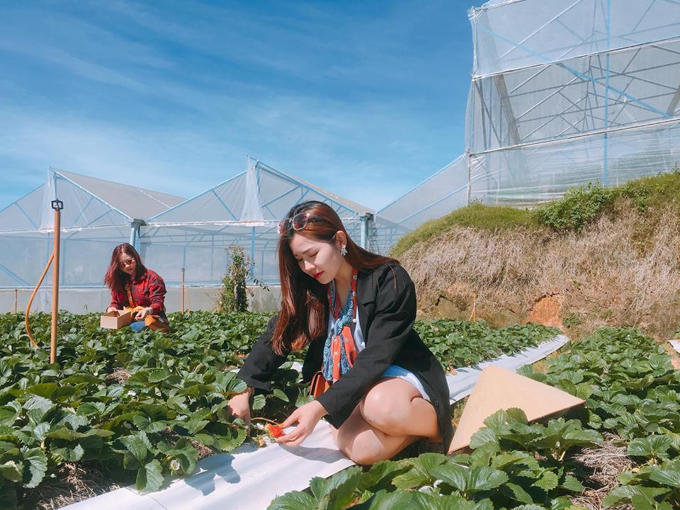 Lên Đà Lạt một ngày làm nông dân thu hoạch dâu tây - 2