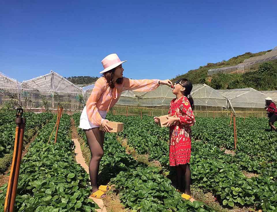 Lên Đà Lạt một ngày làm nông dân thu hoạch dâu tây - 7