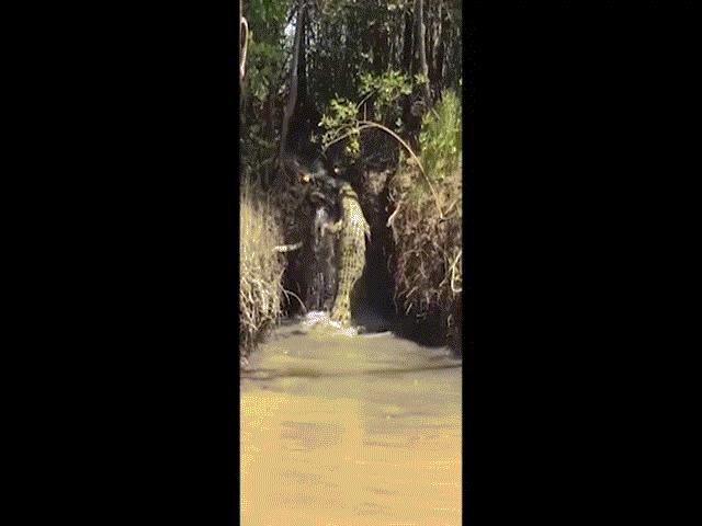 Cá sấu trèo thác nước như người nhện ở Úc