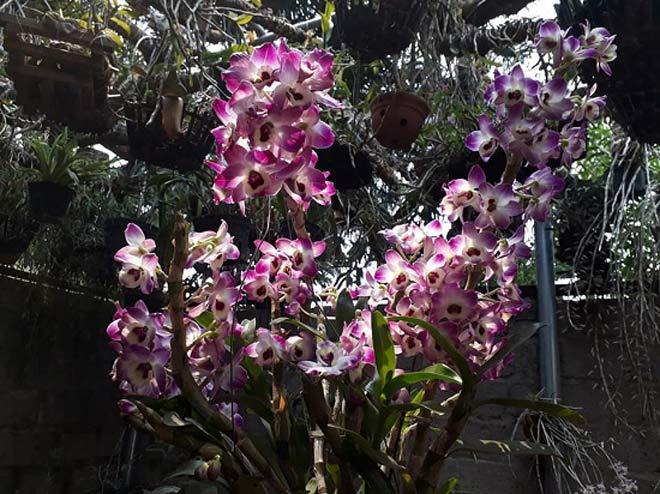Vườn hoa lan vạn người mê trị giá tiền tỷ ở cao nguyên Mộc Châu - 3