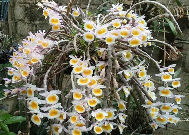 Vườn hoa lan vạn người mê trị giá tiền tỷ ở cao nguyên Mộc Châu - 6