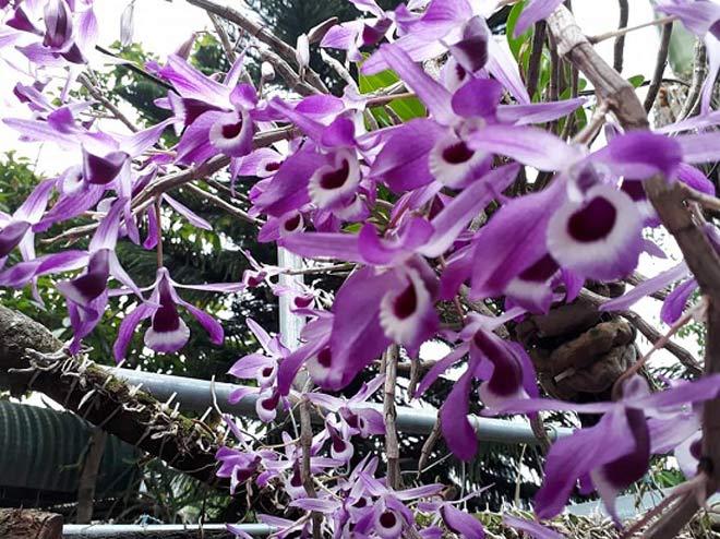 Vườn hoa lan vạn người mê trị giá tiền tỷ ở cao nguyên Mộc Châu - 9