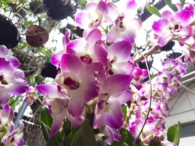 Vườn hoa lan vạn người mê trị giá tiền tỷ ở cao nguyên Mộc Châu - 7