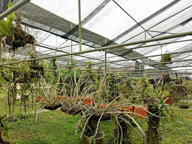 Vườn hoa lan vạn người mê trị giá tiền tỷ ở cao nguyên Mộc Châu - 2