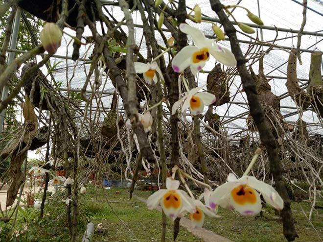 Vườn hoa lan vạn người mê trị giá tiền tỷ ở cao nguyên Mộc Châu - 1