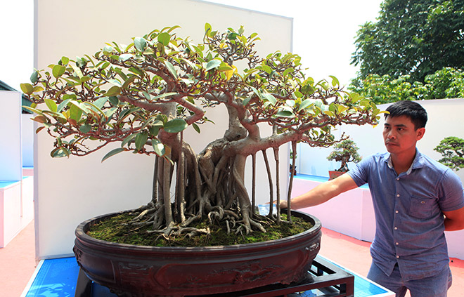 Chiem Ngưỡng Dan Bonsai đẹp Kiệt Xuất Tren đất Yen Tử Tin