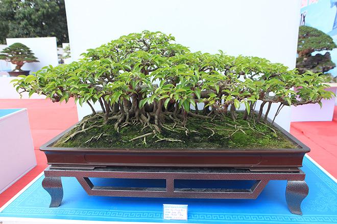 Chiêm ngưỡng dàn bonsai đẹp kiệt xuất trên đất Yên Tử - 4