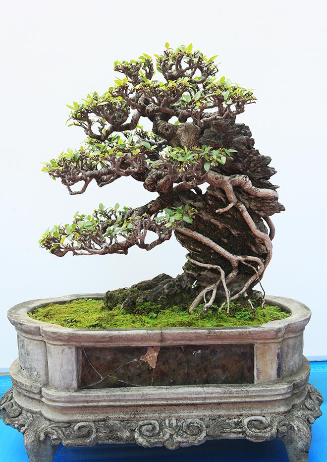 Chiêm ngưỡng dàn bonsai đẹp kiệt xuất trên đất Yên Tử - 9
