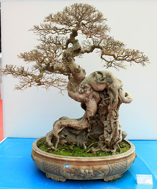 Chiêm ngưỡng dàn bonsai đẹp kiệt xuất trên đất Yên Tử - 11