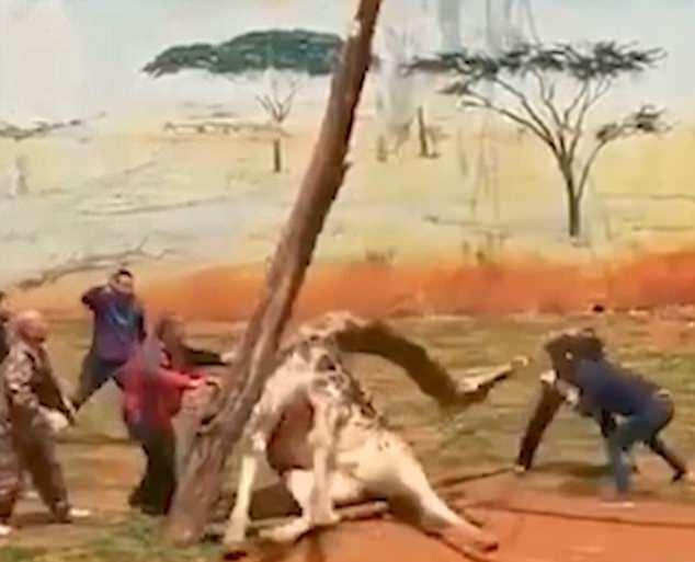 Hươu cao cổ chết thảm vì kẹt đầu giữa 2 cây - 1