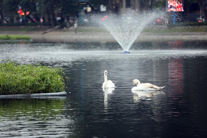 """Thiên nga hồ Thiền Quang bất ngờ """"biến mất"""" vì lý do này - hình ảnh 1"""