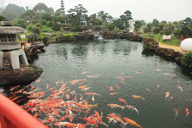 Ngất ngây ngắm hồ cá Koi Nhật Bản gần 10 tỷ tại Việt Nam - 8