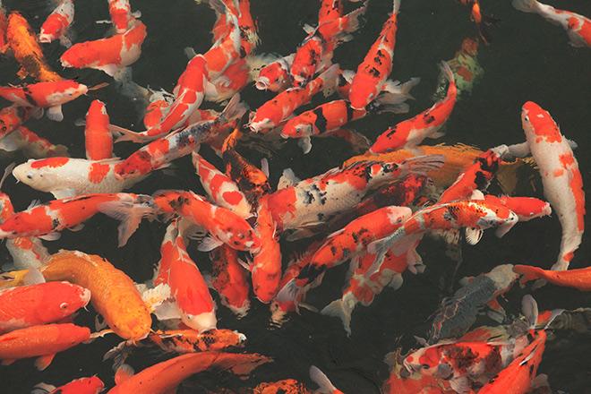 Ngất ngây ngắm hồ cá Koi Nhật Bản gần 10 tỷ tại Việt Nam - 1