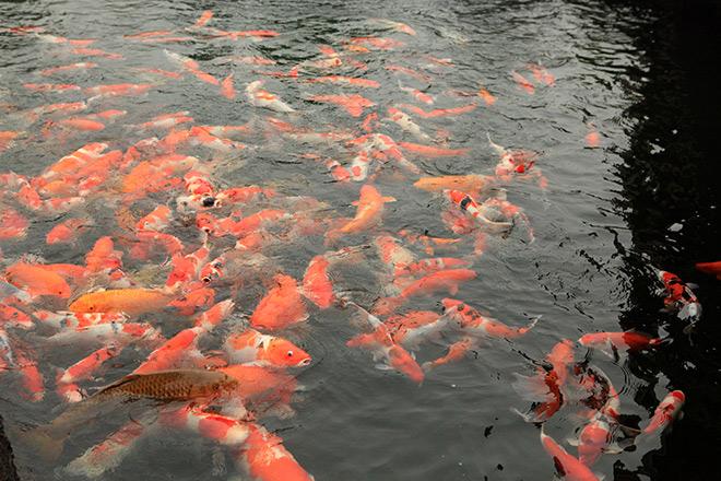 Ngất ngây ngắm hồ cá Koi Nhật Bản gần 10 tỷ tại Việt Nam - 5