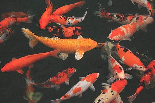 Ngất ngây ngắm hồ cá Koi Nhật Bản gần 10 tỷ tại Việt Nam - 7