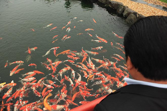 Ngất ngây ngắm hồ cá Koi Nhật Bản gần 10 tỷ tại Việt Nam - 4