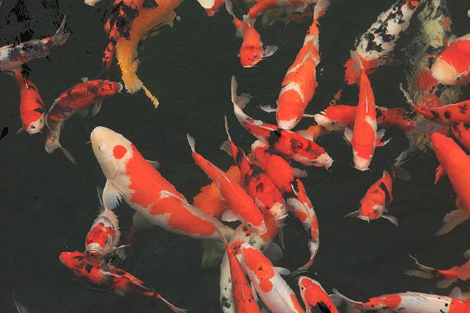 Ngất ngây ngắm hồ cá Koi Nhật Bản gần 10 tỷ tại Việt Nam - 6