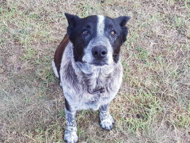 Úc: Vừa mù vừa điếc, chú chó này vẫn cứu được cô chủ 3 tuổi lạc rừng