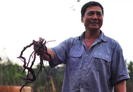NÓNG: Lại cảnh báo việc nông dân đào rễ hồ tiêu bán sang Trung Quốc - 1