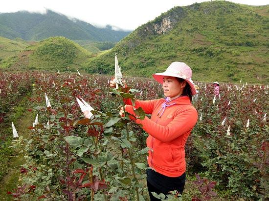 Bỏ việc nhà nước về trồng 6ha hoa hồng, lãi 40 triệu/tháng - 1