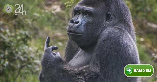 Khỉ đột giơ ngón tay thối về phía du khách