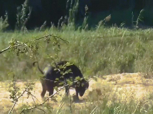 Trâu rừng húc sư tử bay lên trên không để cứu... kỳ đà