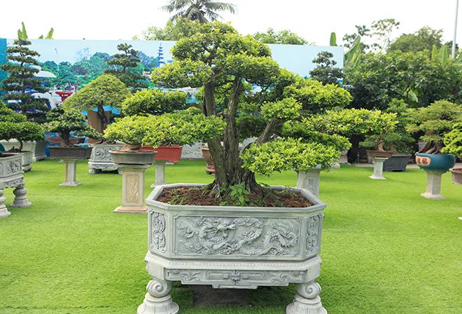 Bộ sưu tập nguyệt quế độc nhất vô nhị của đại gia Thái Nguyên - 13