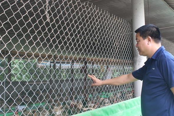 Kiếm tiền tỷ từ nuôi 5.000 gà Đông Tảo - 1