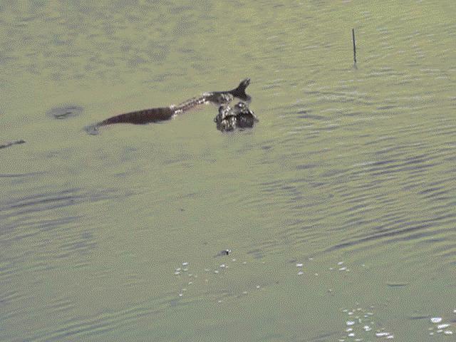 Rắn nước kịch độc bị cá sấu khổng lồ phục kích, xơi tái
