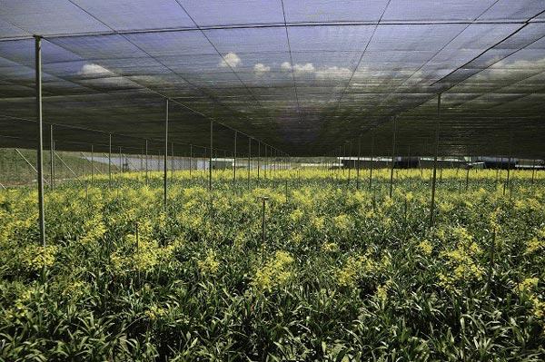 Phá cà phê trồng lan vũ nữ, lão nông thu tiền tỷ - 1