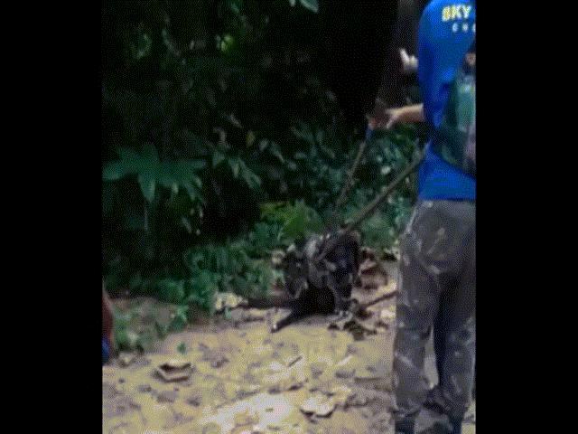 Thót tim màn giải cứu chó bị trăn anaconda siết cổ