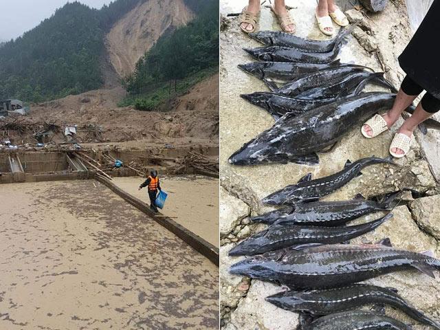 Núi lở bất ngờ, ông chủ cùng trang trại cá tầm 30ha bị vùi lấp