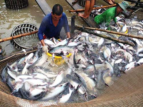 Doanh nghiệp thủy sản xoay xở biến da cá, mỡ cá thành tiền - 1