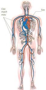 Hệ mao mạch – những điều chưa biết về người hùng của cơ thể