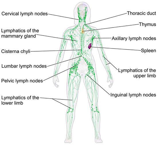 Hệ mao mạch – những điều chưa biết về người hùng của cơ thể - 2