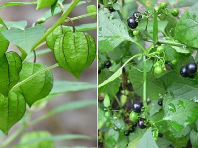Thứ rau dại thành đặc sản, dễ nhầm với cây có độc