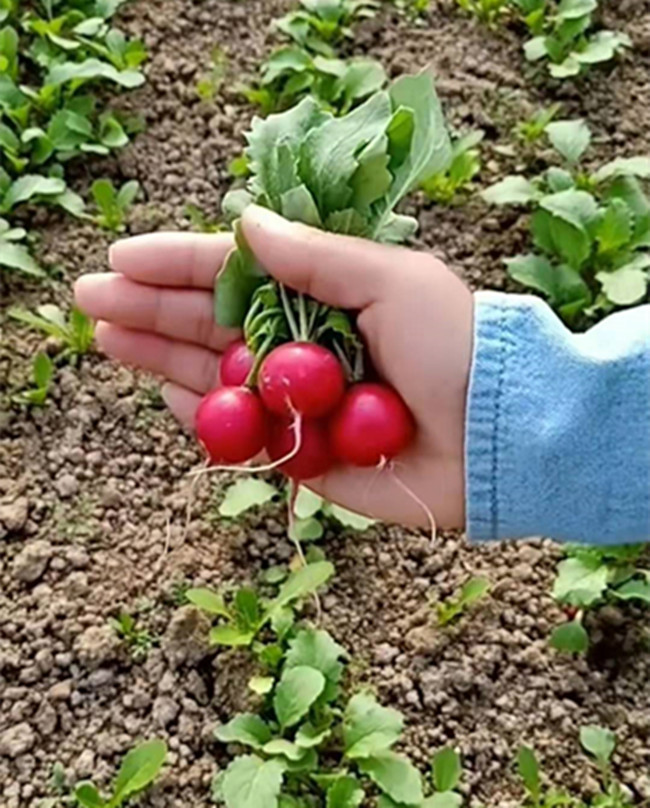 """Cô gái bỏ thành phố về quê trồng củ cải """"tí hon"""", bán gần 550.000/kg - 2"""