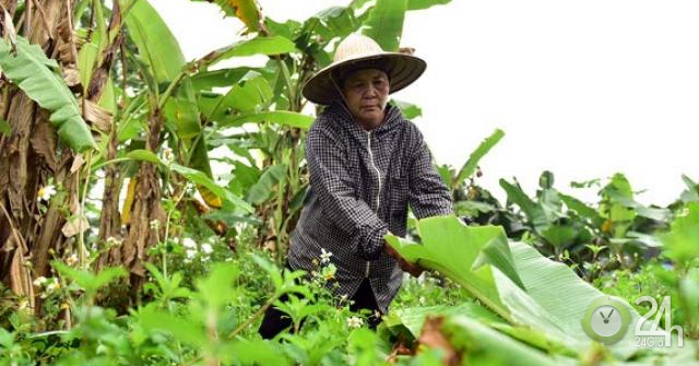 Ảnh, clip: Vào rừng hái lá chuối bán 10 nghìn/kg hết vèo