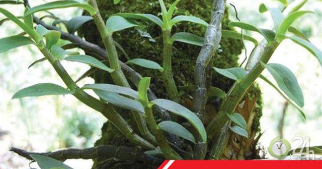 Tây Bắc: Phát hiện cây lan quý mọc trong hốc đá bớt tê bì chân tay, tiểu đêm, ổn định đường huyết