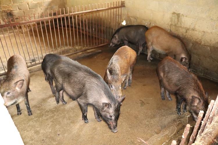 Nơi khỉ ho cò gáy, ăn nên làm ra nhờ loài lợn lông như chổi xể - 2