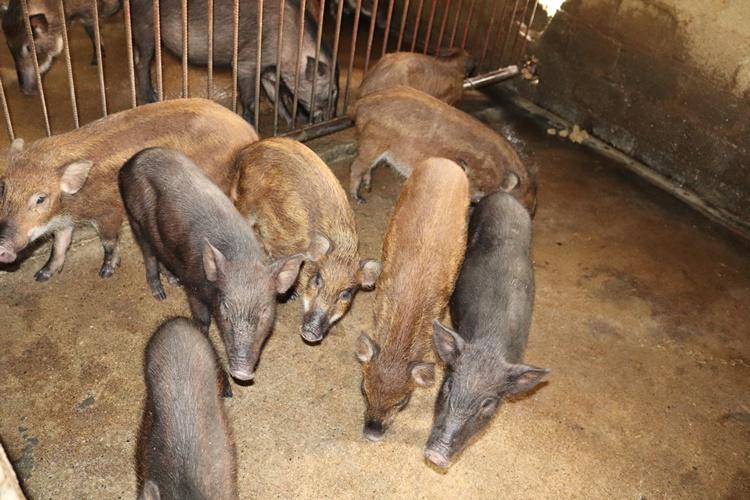 Nơi khỉ ho cò gáy, ăn nên làm ra nhờ loài lợn lông như chổi xể - 3