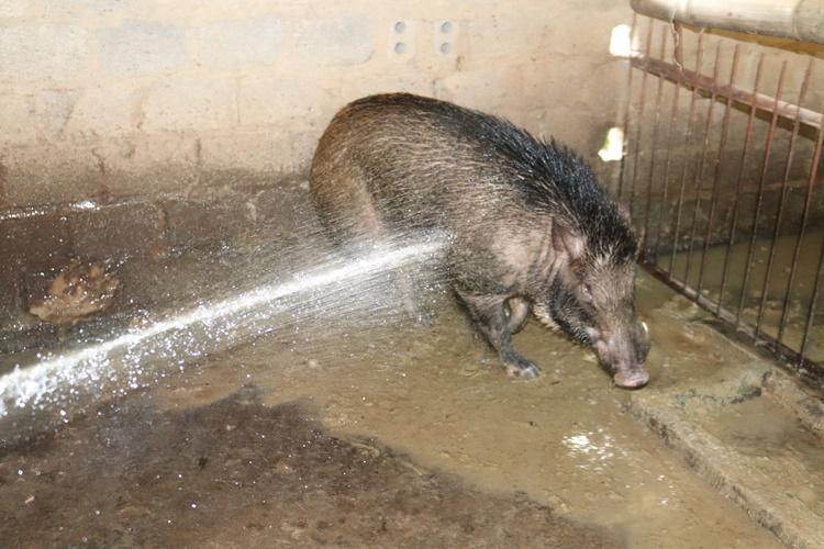 Nơi khỉ ho cò gáy, ăn nên làm ra nhờ loài lợn lông như chổi xể - 4