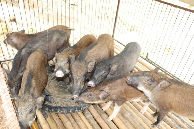Nơi khỉ ho cò gáy, ăn nên làm ra nhờ loài lợn lông như chổi xể - 9