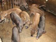 Nơi khỉ ho cò gáy, ăn nên làm ra nhờ loài lợn lông như chổi xể