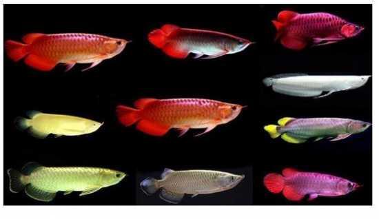 Loài cá phổ biến ở Châu Á có giá đắt hơn cả siêu xe Lamborghini - 4