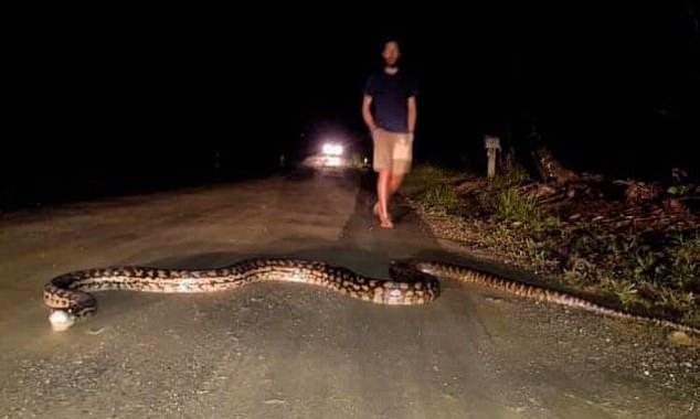 Du khách sốc với trăn khổng lồ dài 7 mét chắn giữa đường ở Úc - 1