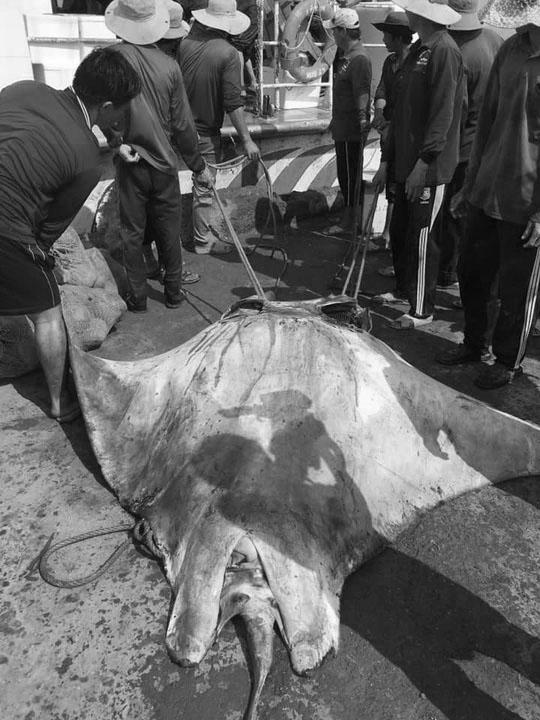 """Bắt được cá Đuối """" khủng"""", gần nửa tấn ở biển Lý Sơn - 1"""