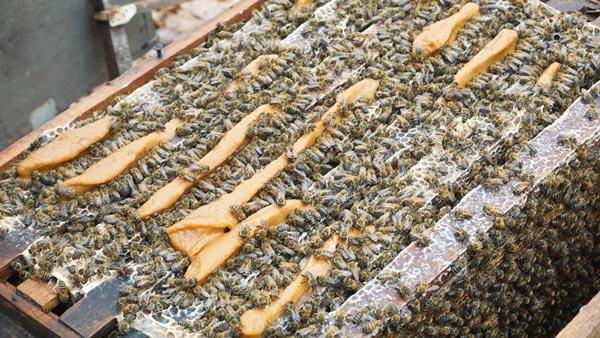 Mùa ong di cư lớn nhất: Bỏ vợ con đi theo mùa hoa, kiếm trăm triệu - 3